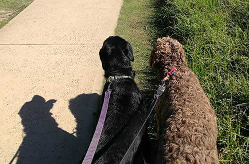 Leash walking northern beaches